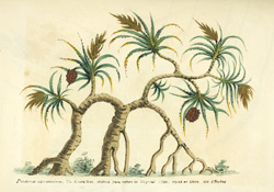 Pandanus Odoratissimus. The Keura Tree, sketched from nature in Guzerat. 1780. Copied on stone